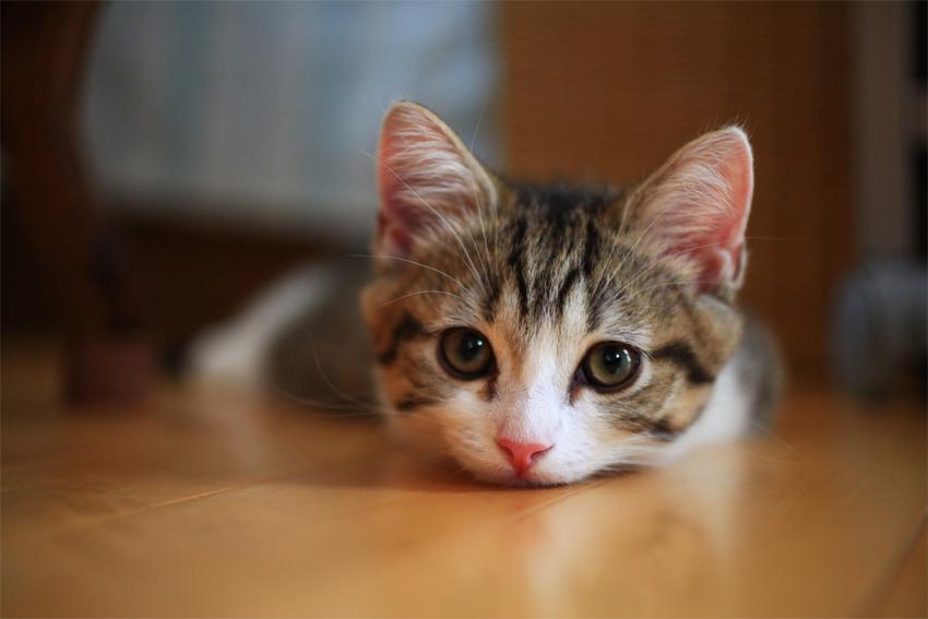 全国の猫カフェ応援サイト にっぽん猫カフェめぐりです!!