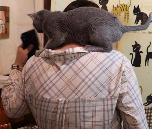肩のり大好き。ロシアンブルーのイヴちゃん。