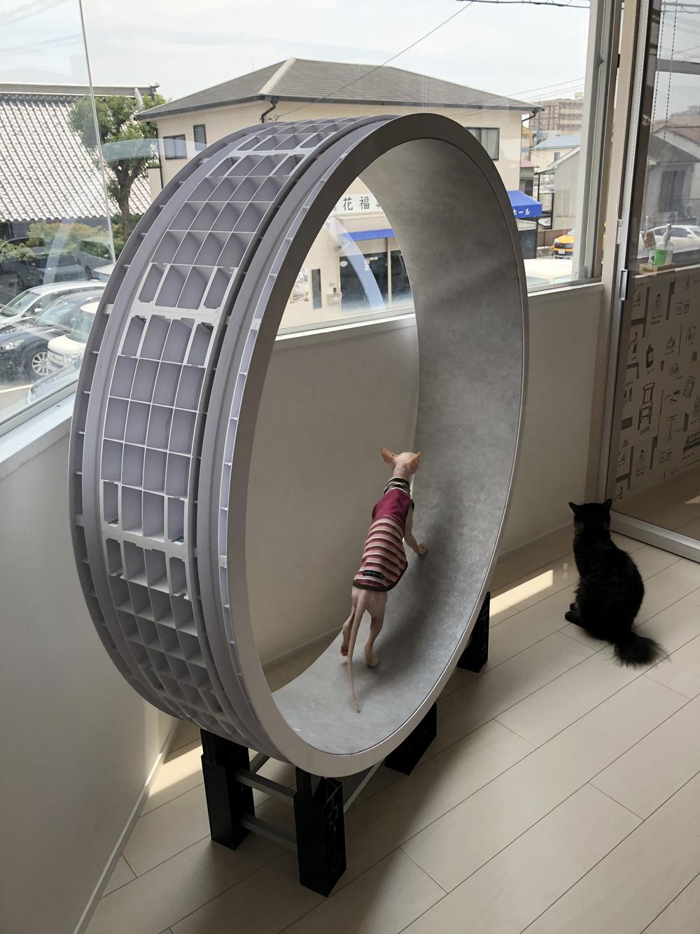 これは珍しい😄 巨大な猫車(キャットホイール)です。