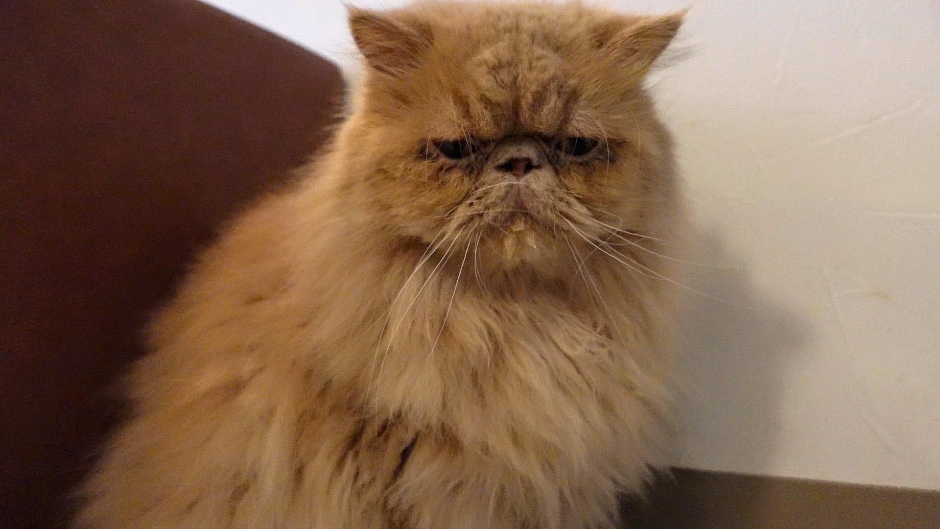 ブサカワ猫のマロン